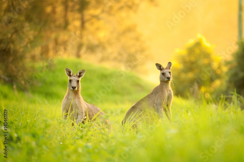 Deurstickers Kangoeroe Kangaroos at sunset