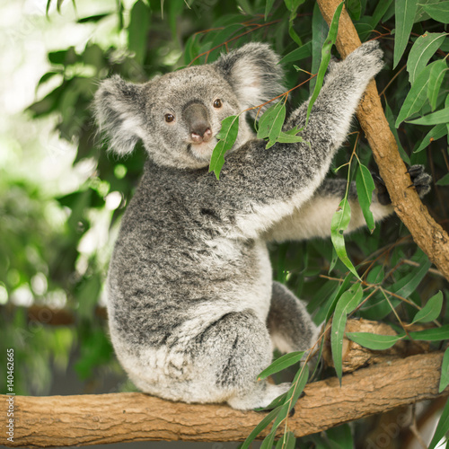 In de dag Koala Australian koala outdoors in a eucalyptus tree.