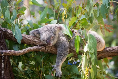 Garden Poster Koala 居眠り中のコアラ