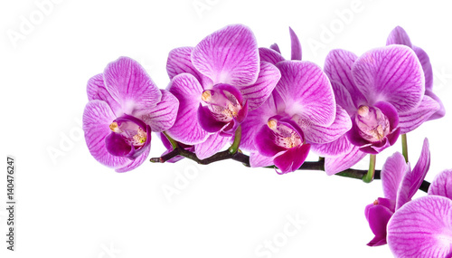 Foto op Canvas Orchidee Pink streaked orchid flower, isolated