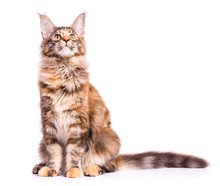 Portrait Of Domestic Tortoiseshell Maine Coon Kitten. Fluffy Kitty Isolated On White Background. Adorable Curious Young Cat Sitting And Looking Up.
