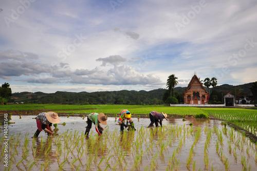 Fotografia  farmer in the rice field