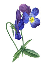 Watercolor Illustration Of A Blooming Violet.