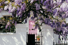 Blossoming Wisteria Tree Cover...
