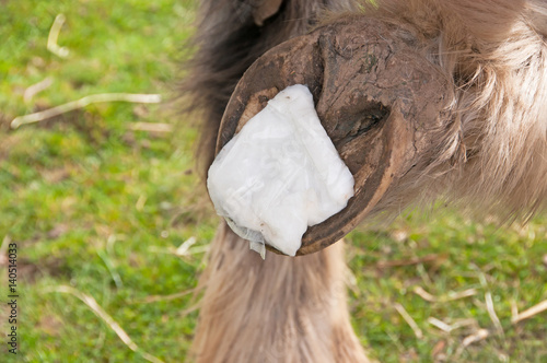 Poultice being applied to a hoof with an abscess - Buy this stock