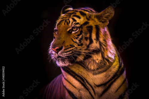 In de dag Tijger Bengal Tiger portrait looking outside isolated black on background