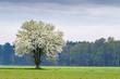 Wiosna, kwitnące drzewo