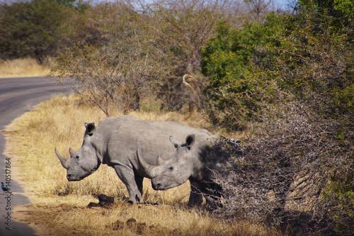 Spoed Foto op Canvas Neushoorn a couple of white rhinos in Kruger Park