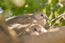 European Turtle Dove Chicks