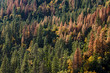 Hillside of pine trees, with many dying due to drought and bark beetle kill
