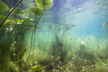 Prekrasan žuti lopoč (nuphar lutea) u bistroj funti. Podvodni hitac u jezeru. Stanište prirode.
