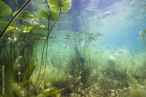 Foto op Plexiglas Waterlelies Beautiful yellow Water lily (nuphar lutea) in the clear pound. Underwater shot in the lake. Nature habitat.