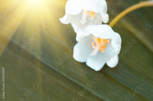 Wall Murals Lily of the valley Flower lily of the valley, closeup, spring