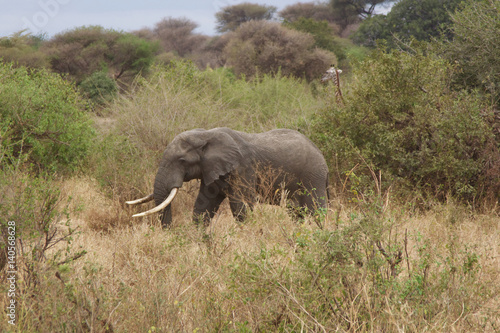 An African Elephant Walking in Tanzania