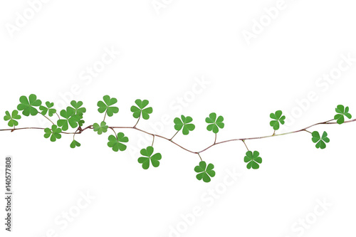 Green leaves with three heart-shaped leaflets resemble a clover in shape of yellow woodsorrel  the creeping plant isolated on white background, clipping path included.