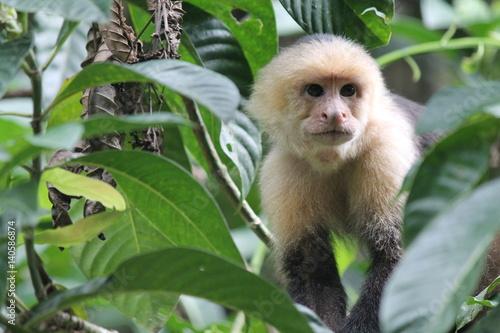 Photo  Costa Rican Howler Monkey