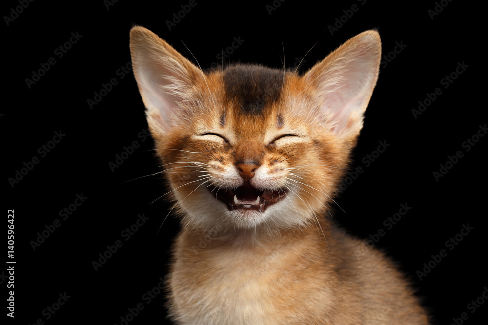 Fototapety, obrazy: Laughs Abyssinian Kitty with funny closed eyes on Isolated Black Background