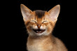 canvas print picture - Laughs Abyssinian Kitty with funny closed eyes on Isolated Black Background