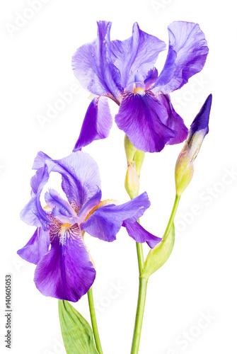 Tuinposter Iris Iris flower_7