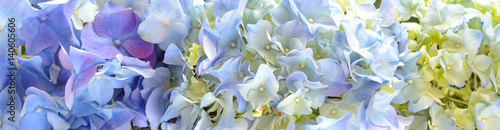 Beautiful Hydrangea Flower banner or Background.