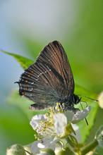 Satyrium Ilicis, Ilex Hairstreak Butterfly - Lycaenidae Family,  Butterfly On Wildflowers