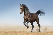 Bay Horse Run Gallop In Dust Against Blue Sky