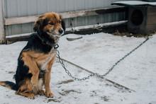 Sad Yard Dog On A Chain With A...