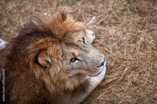 Beautiful Lion in savanna.