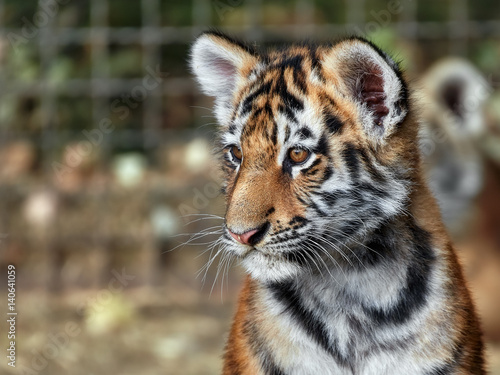 Fotografie, Obraz  tiger cub in the grass