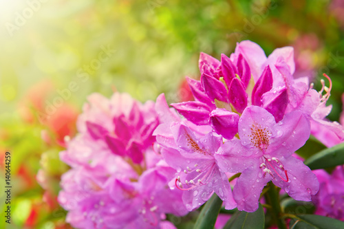Photo sur Aluminium Azalea Beautiful pink Rhododendron.