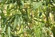 hemp (technical cannabis)