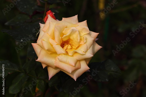 Photo  Beautiful Rose flower in the garden