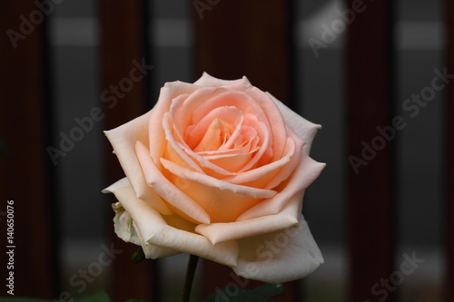 Beautiful Rose flower in the garden Poster