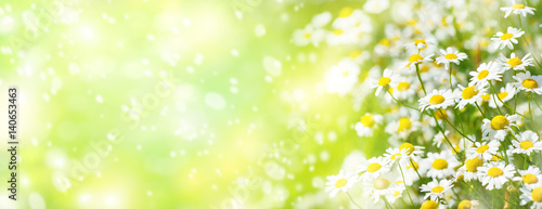 Summer background with beautiful daisies in sunlight..Blooming medical daisies.
