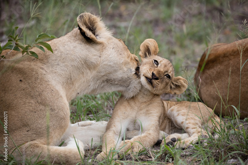 Fotografie, Obraz  Lion cub with lioness