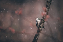 Close-up Of Downy Woodpecker Perching On Branch