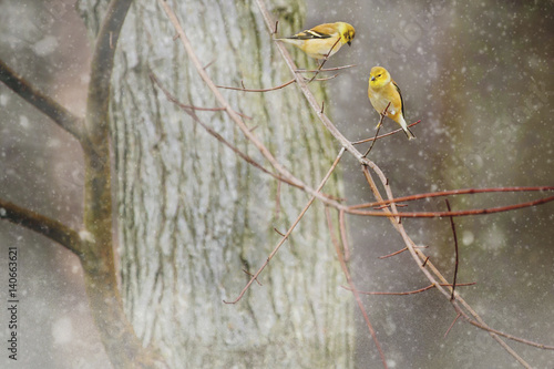 Close-up of yellow birds perching on branch during winter Poster