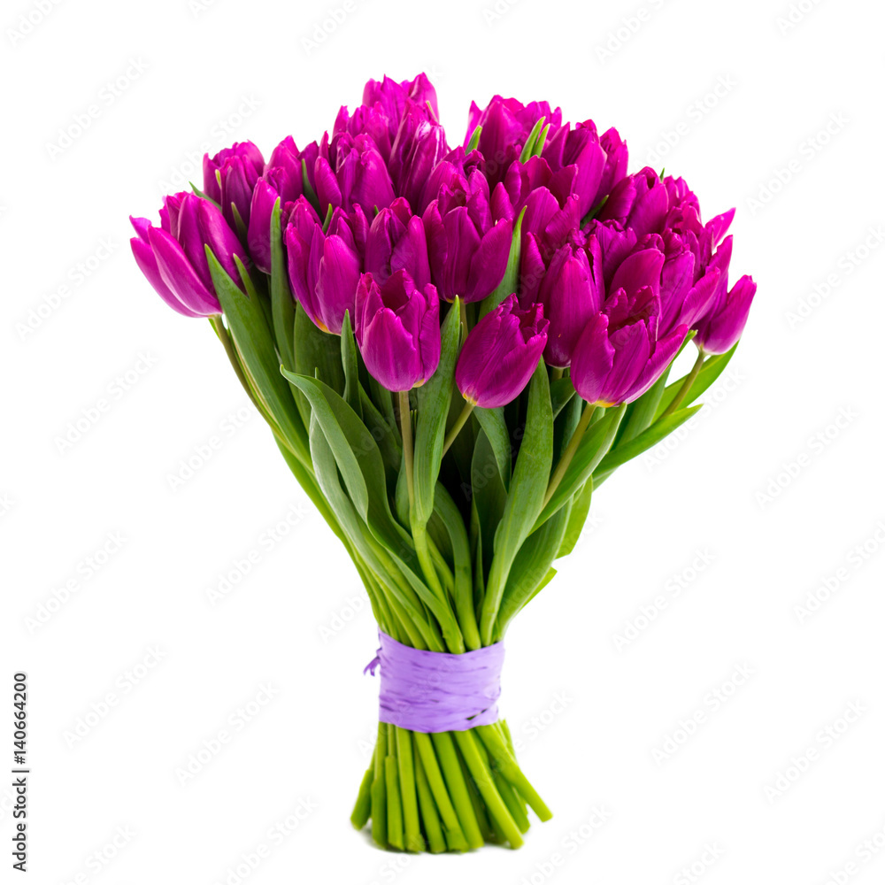 violet tulips isolated on white