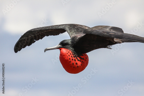 Photo  Close up of a male Magnificent frigatebird in flight with red inflated pouch, Ga