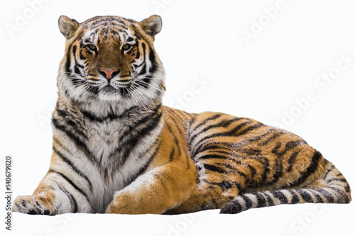 Photo sur Toile Tigre Amur tiger on a white isolated background