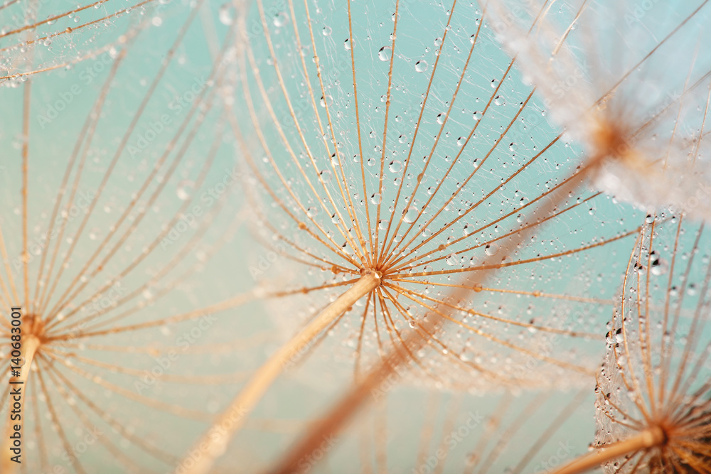 Fototapety, obrazy: Blue abstract dandelion flower background, extreme closeup with soft focus, beautiful nature details