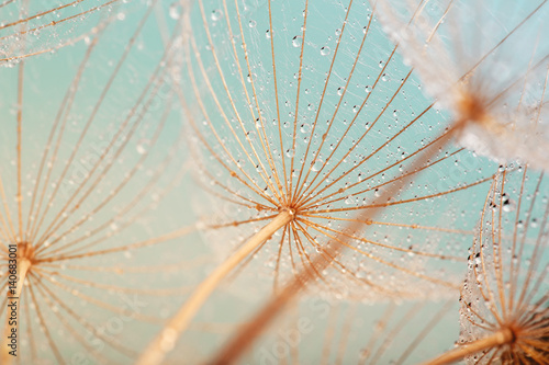 Spoed Foto op Canvas Paardenbloem Blue abstract dandelion flower background, extreme closeup with soft focus, beautiful nature details