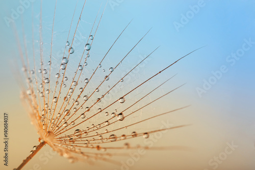 Fototapety, obrazy: dandelion flower with water drops