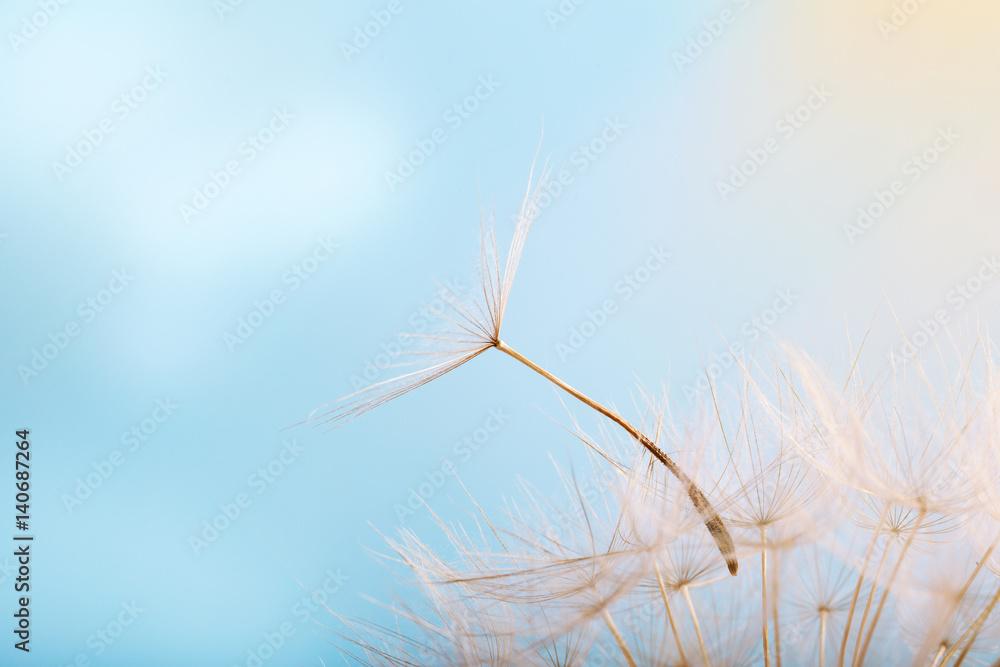 Fototapety, obrazy: Dandelion on a background a bright blue sky