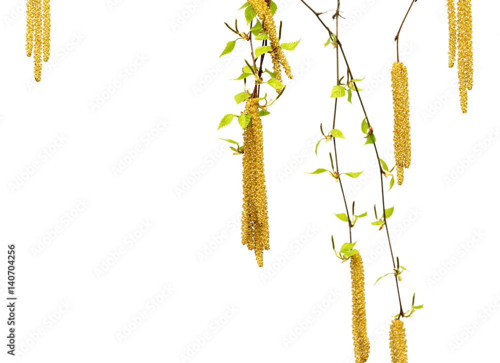 Spring twigs of birch with young green leaves and catkins