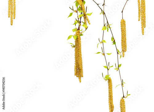 Fényképezés  Spring twigs of birch with young green leaves and catkins