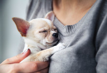 Chihuahua Puppy In The Hands O...