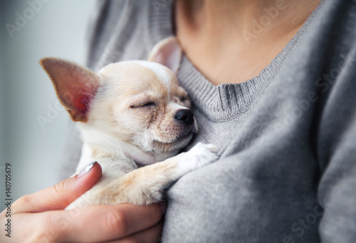 Obraz chihuahua puppy in the hands of a girl with a nice manicure. - fototapety do salonu