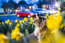 Many Yellow Daffodils With Gre...