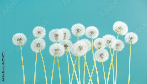 Fototapeta  Dandelion flower on green color background, group objects on blank space backdrop, nature and spring season concept